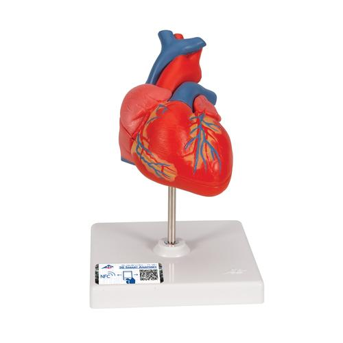 Classic Human Heart Model, 2 part - 3B Smart Anatomy, 1017800 [G08], Human Heart Models