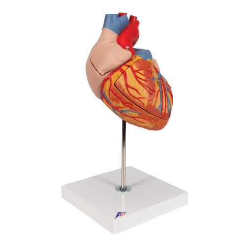 Human Heart Model, 2-times Life-Size, 4 part - 3B Smart Anatomy, 1000268 [G12], Human Heart Models