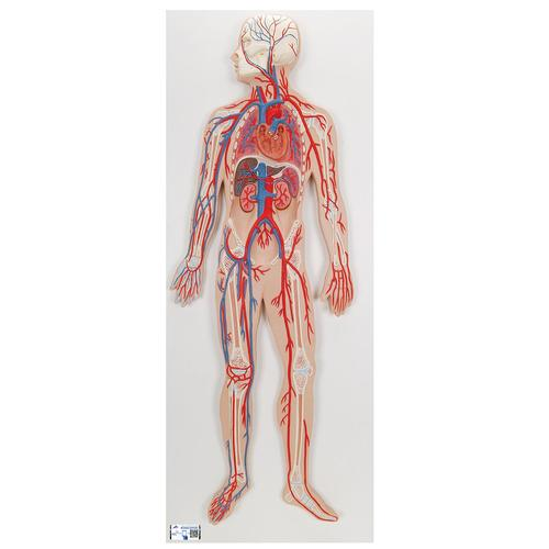 Human Circulatory System Model - 3B Smart Anatomy, 1000276 [G30], Human Heart Models