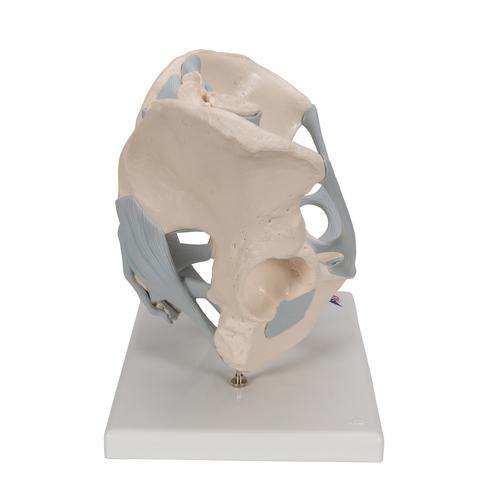 Human Male Pelvis Skeleton Model with Ligaments, 2 part - 3B Smart Anatomy, 1013281 [H21/2], Genital and Pelvis Models