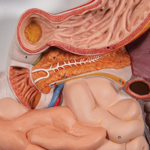 Human Digestive System Model, 3 part - 3B Smart Anatomy, 1000307 [K21], Digestive System Models
