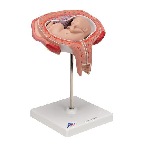Fetus Model, 5th Month in Dorsal Position - 3B Smart Anatomy, 1000327 [L10/6], Pregnancy Models