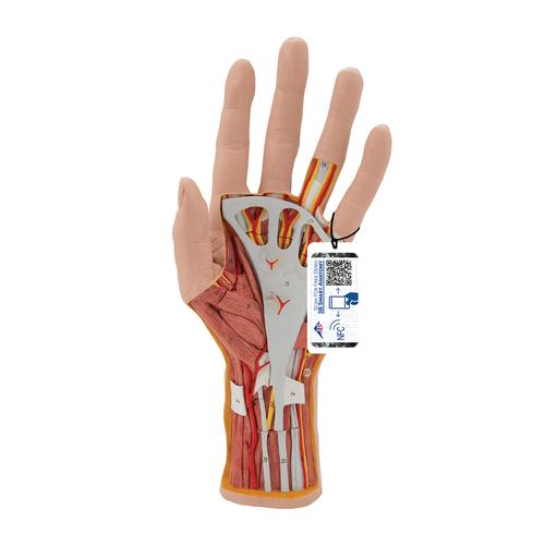 M18: Internal Hand Structure Model, 3 part