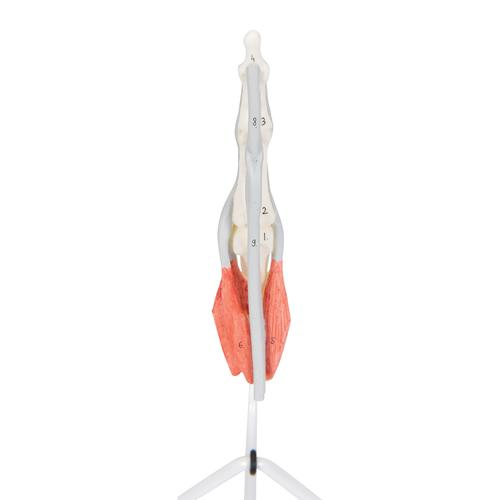 Life-Size Finger Model with Muscles & Tendons - 3B Smart Anatomy, 1000350 [M19], Arm and Hand Skeleton Models