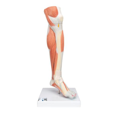 Anatomical Teaching Models - Plastic Human Muscle Models - Lower Leg ...