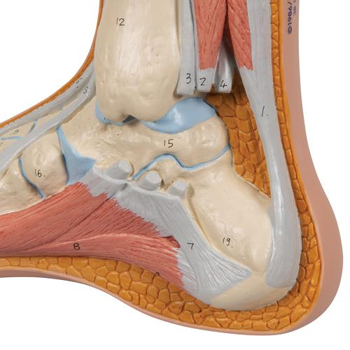 Normal Foot Model - 3B Smart Anatomy, 1000354 [M30], Joint Models