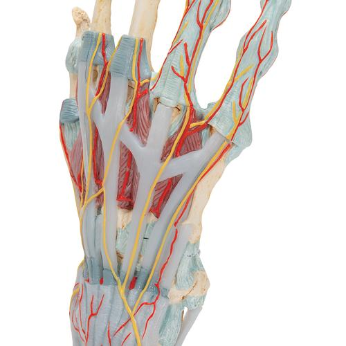 Hand Skeleton Model with Ligaments & Muscles - 3B Smart Anatomy, 1000358 [M33/1], Joint Models