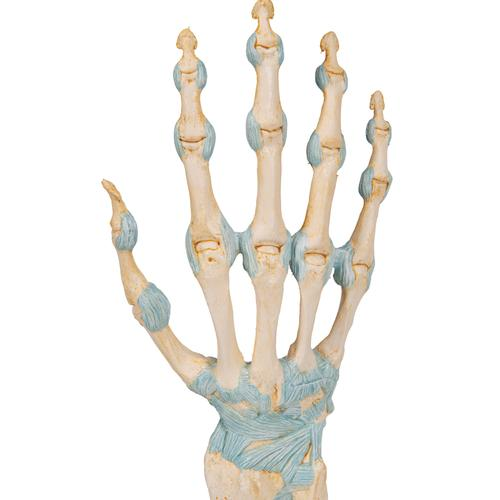 Hand Skeleton Model with Ligaments & Carpal Tunnel - 3B Smart Anatomy, 1000357 [M33], Joint Models