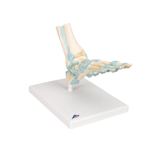 Foot Skeleton Model with Ligaments - 3B Smart Anatomy, 1000359 [M34], Joint Models