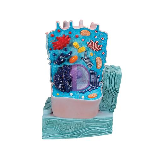 animal cell model images. Animal cell model