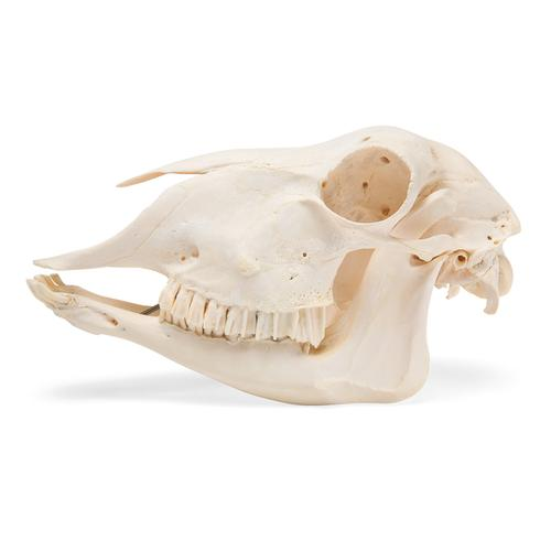Domestic Sheep Skull (Ovis aries), Female, Specimen, 1021028 [T300181f], Farm Animals