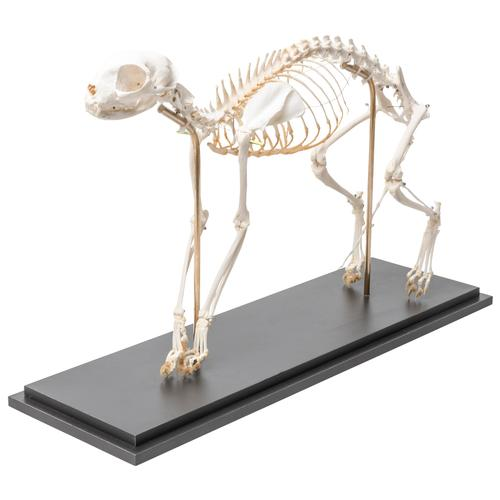 Cat Skeleton (Felis catus), Flexibly Mounted, Specimen, 1020970 [T300391], Pets