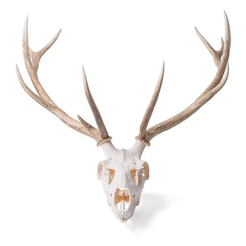 Red Deer skull (Cervus elaphus), male, 1021014 [T30050m], Even-toed Ungulates (Artiodactyla)