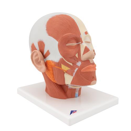 头部肌肉模型 头 解剖学模型 3B Scientific