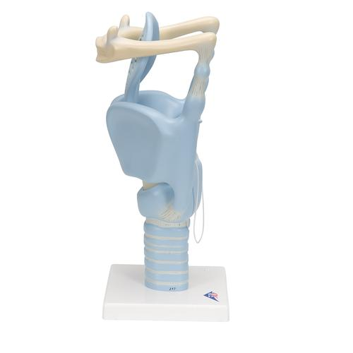 Functional Human Larynx Model, 3 times Full-Size - 3B Smart Anatomy, 1001242 [VC219], Ear Models