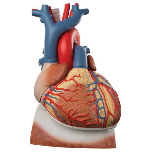 Anatomical Heart Model - Anatomy of the Heart - Heart Model on Diaphragm