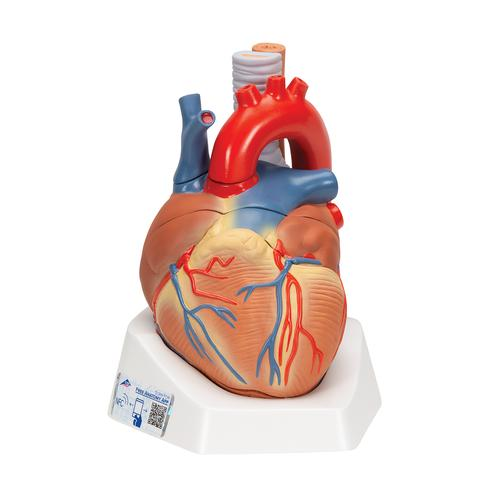 Anatomical Heart Model - Anatomy of the Heart - 7-Part Heart Model