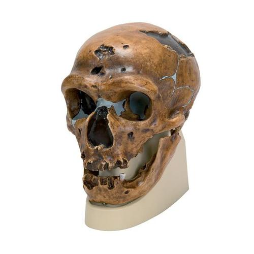 Replica Homo Neanderthalensis Skull (La Chapelle-aux-Saints 1), 1001294 [VP751/1], Anthropological Skulls