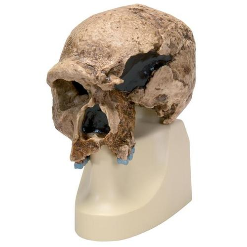 Replica Homo steinheimnensis Skull (Berkhemer, 1936), 1001296 [VP753/1], Anthropology
