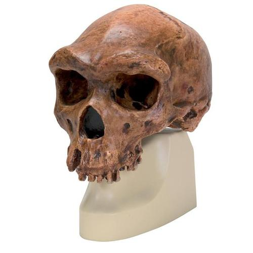 Replica Homo rhodesiensis Skull (Broken HillŸ Woodward, 1921), 1001297 [VP754/1], Anthropological Skulls