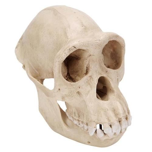 VP760/1: Chimpanzee Skull (Pan troglodytes), Female. Replica