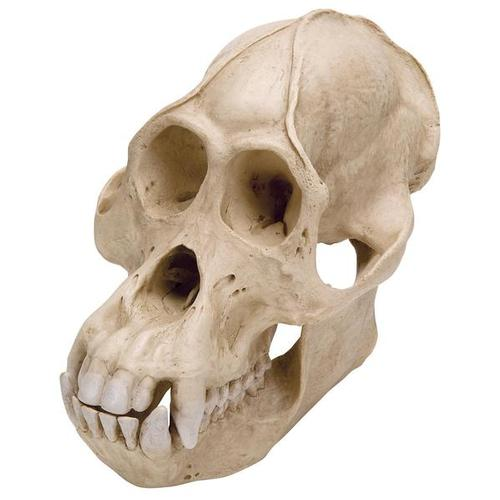 Orangutan Skull (Pongo pygmaeus), Male, Replica, 1001300 [VP761/1], Biological Anthropology