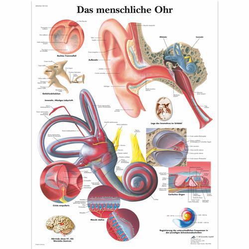 Das menschliche Ohr - 4006584 - VR0243UU - Ear, Nose and Throat (ENT ...