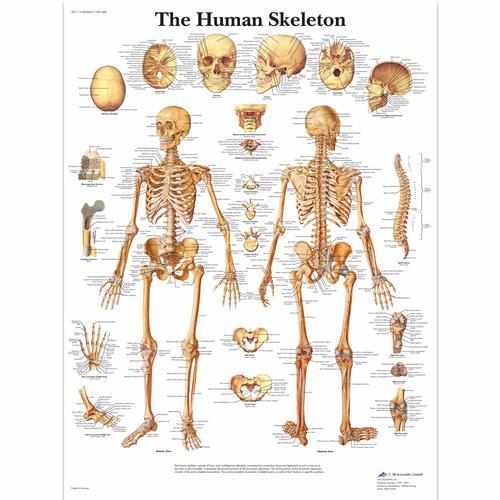 Human Skeleton Poster Human Skeleton Chart Laminated