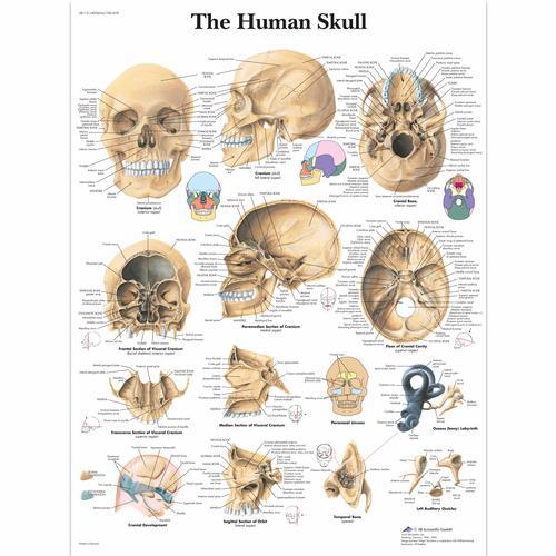 Human Skull Chart 1001478 Vr1131l Skeletal System 3b Scientific