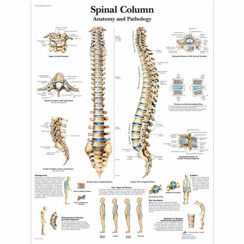 Spinal Column Chart   Vertebrae Posters and Charts   Human Vertebral ...