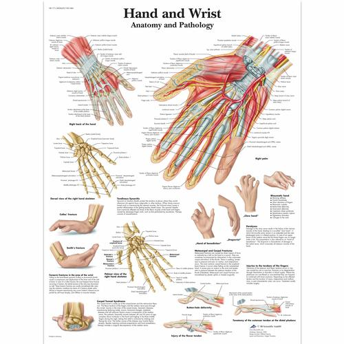 Hand and Wrist Chart - Anatomy and Pathology, 1001484 [VR1171L], Skeletal System