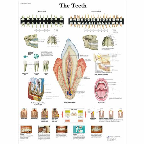 Anatomical charts and posters anatomy charts dental charts the the teeth chart 4006672 vr1263uu teeth ccuart Gallery