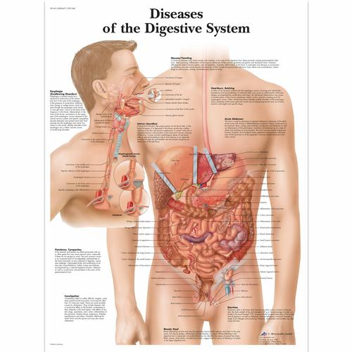 hieght and weight chart. the Digestive System Chart