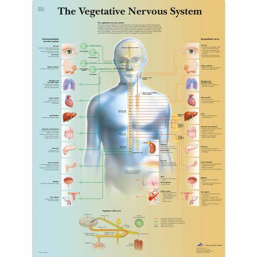 The Vegetative Nervous System Chart, 4006708 [VR1610UU], Brain and Nervous system