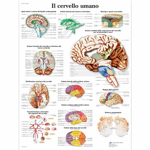Il cervello umano, 1002085 [VR4615L], Brain and Nervous system