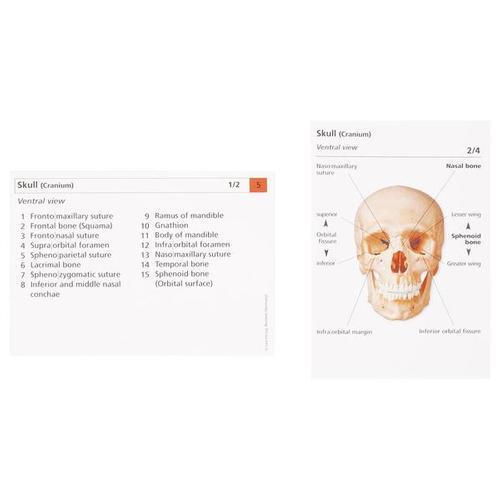Human Anatomy Flash Cards The Skeletal System 1003743 W11505