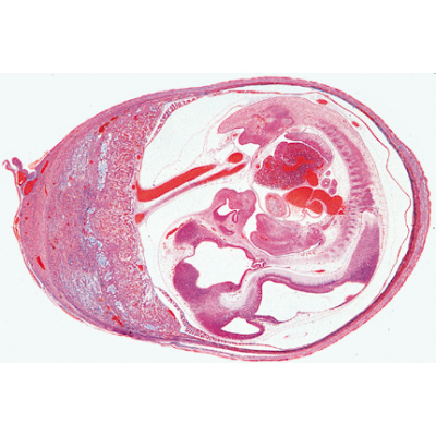Histology of Mammalia, Supplementary Set - Spanish, 1004081 [W13307S], Zoological histology