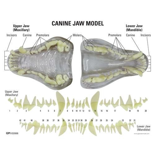 Canine Jaw Model-Clear, 1019592 [W33361], Stomatology