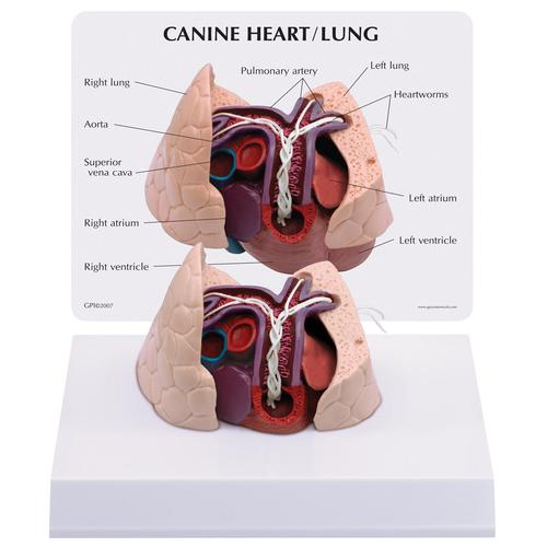 Canine Heart and Lung Model, 1019586 [W33376], Zoological Diseases