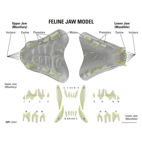 Feline Jaw- Clear Model, 1019590 [W33379], Stomatology