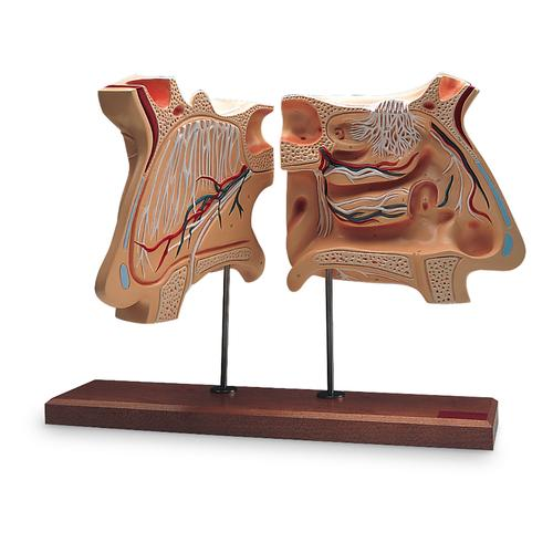 Nose and Olfactory Organ Model, 4 times full-size, 1005531 [W42506], Ear Models