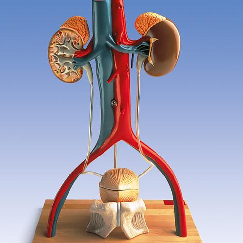 Anatomical Teaching Model - Plastic Anatomy Models - Renal System ...