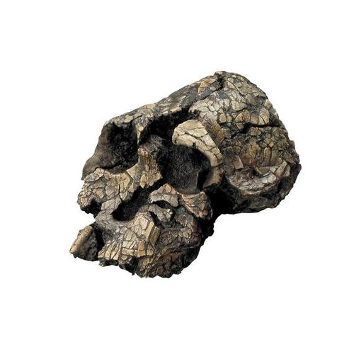 Bone Clones® Kenyanthropus platyops Skull, W59308, Anthropology