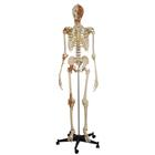 Skeleton with 4 ligaments, head and neck muscles, 1019415, Skeleton Models - Life size
