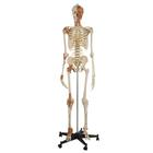 Flexible Skeleton with ligaments and muscles, 1019416, Skeleton Models - Life size