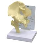 Basic Hip Model, 1019503, Individual Bone Models