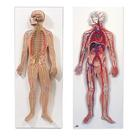 Anatomy Set Nervous & Circulatory Systems, 8001092 [3010309], Anatomy Sets