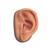 Acupuncture left ear model and ear chart, 3011919, Acupuncture Charts and Models (Small)