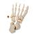 Disarticulated Half Human Skeleton Model, Loosely Articulated Hand & Foot - 3B Smart Anatomy, 1020156 [A04/1], Disarticulated Human Skeleton Models (Small)