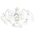 Disarticulated Human Skeleton Models